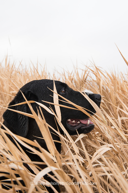 A black Labrador retriever with a mallard down on her snout watches as incoming ducks circle the decoys during a  waterfowl hunt in southeastern Idaho.