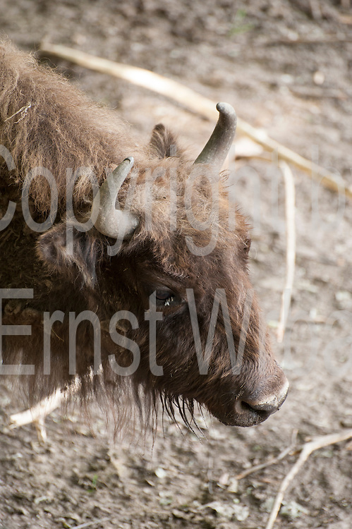 Wisent, Eulbacher Park, Michelstadt, Odenwald, Naturpark Bergstraße-Odenwald, Hessen, Deutschland | bison, Eulbach Park, Michelstadt, Odenwald, Hesse, Germany