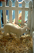 3 year old petting lamb at MN State Fair.  St Paul Minnesota USA