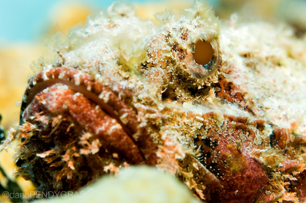 A close up shot of a spotted scorpionfish (Scorpaena plumieri)