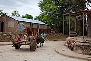 Oxen in San Andres, Holguin, Cuba.
