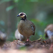 The bar-backed partridge (Arborophila brunneopectus), also known as the brown-breasted hill-partridge, is a species of partridge in the family Phasianidae. Photographed in Kaeng Krachan National Park.