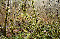Moss covered trees in the Cascade Mountains of  Washington state, USA.