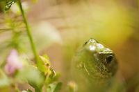 Green lizard (lacerta viridis) female close-up, National Park Djerdab, Serbia