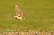 Burrowing owl with a banded leg flying over a black-tailed prairie dog mound in the Great Plains of Montana at American Prairie Reserve. South of Malta in Phillips County, Montana.
