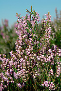 HEATHER Calluna vulgaris (Ericaceae) Height to 50cm<br /> Dense, evergreen undershrub that is also known as Ling. A characteristic plant of acids soils on heath and moors on all but the wettest terrain. Also occurs in mature conifer woodland. FLOWERS are 4-5mm, bell-shaped and usually pink but sometimes white; borne in spikes (Aug-Sep). FRUITS are capsules. LEAVES are short, narrow and borne in 4 rows along the stem. STATUS-Widespread and locally abundant throughout the region. In many heathland and moorland areas it is the dominant plant.