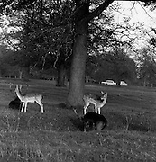 6/11/1967<br /> 11/6/1967<br /> 6 November 1967<br /> <br /> Herd of Deer in Phoenix Park