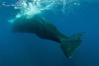 Sperm whale (Physeter macrocephalus) in the Dampier Strait between Batanta and Waigeo.