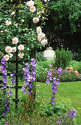 Rosa 'New Dawn' growing on trellis with campanulas in a small town garden