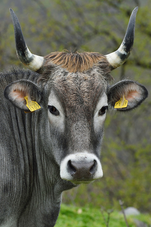 Boskarin cattle, part of the Turos program to breed back the aurochs, Mala Libinje, Velebit mountains Nature Park, Croatia