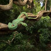 Large-eyed Pit viper (Trimeresurus macrops) male in Pak Chong, Nakhon Ratchasima, Thailand