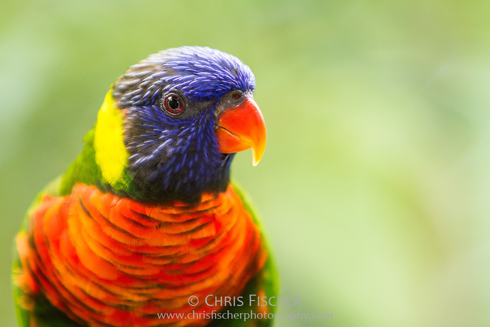 Rainbow Lorikeet, Jurong Bird Park, Singapore