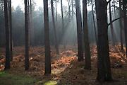 Early morning sunlight shines through conifer trees onto bracken near Snape, Suffolk, England