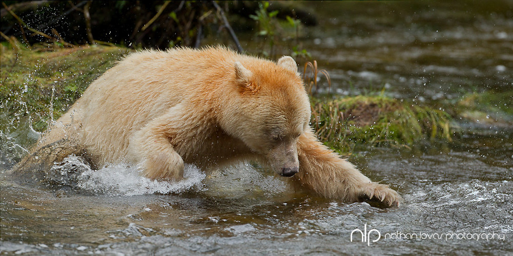 Spirit Bear chasing salmon in river;  British Columbia in wild.