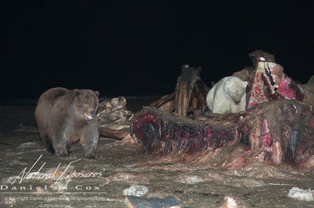Polar Bear (Ursus maritimus) and an Alaskan Brown Bear (Ursus middendorffi) feeding on the carcass of a Bowhead Whale (Balaena mysticetus). Kaktovik, Alaska