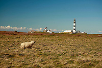 a sheep near Lighthouse Creac'h on Ouessant Island, the most powerful french lighthouse..for article by Steven Erlanger on the state of lmighthouses in France..Photo by Owen Franken for the NY Times..April 8, 2008
