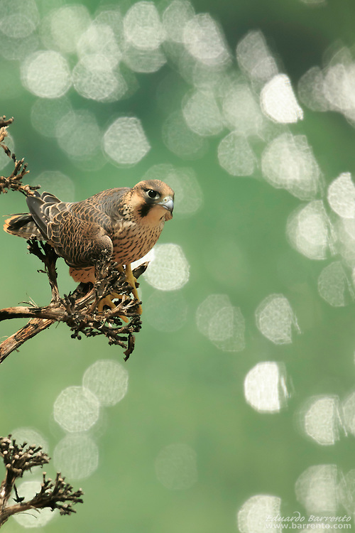 Peregrine falcon (Falco peregrinus). Bird of prey on a cactus tree, in the escarpment with bright lights reflecting on the sea, seen from above