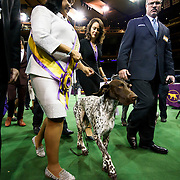 "February 16, 2016 - New York, NY : ""Vjk-Myst Garbonita's California Journey,"" a Pointer (German Shorthaired), with her handler, leaves the floor after winning Best in Show in the 140th Annual Westminster Kennel Club Dog Show at Madison Square Garden in Manhattan on Tuesday evening, February 16, 2016. CREDIT: Karsten Moran for The New York Times"