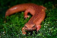 Red Salamander  (Psuedotriton ruber)