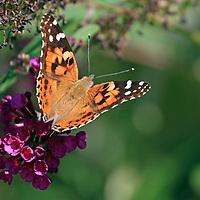 An American Painted Lady Butterfly, Vanessa virginiensis, on purple flowers. Richard DeKorte Park, Lyndhurst, New Jersey, USA