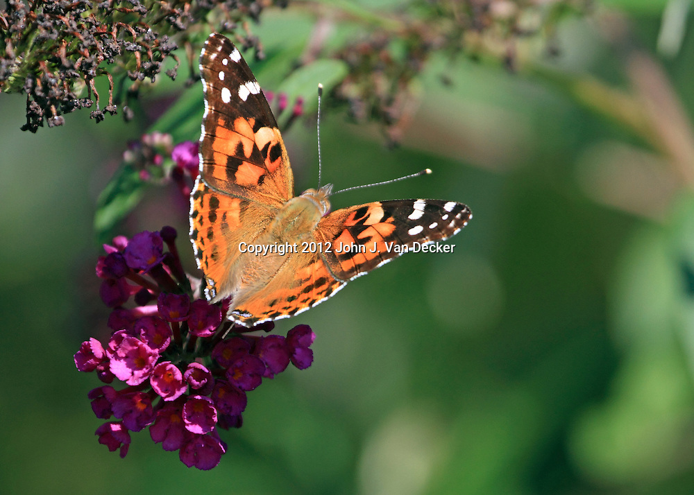 An American Painted Lady Butterfly, Vanessa virginiensis, on purple flowers. Richard DeKorte Park, Lyndhurst, New Jersey, USA