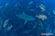 bull sharks, Carcharhinus leucas, swim through spawning aggregation of mutton snappers, Lutjanus analis, looking for an easy meal of a fish distracted by the reproductive urge, Gladden Spit & Silk Cayes Marine Reserve, off Placencia,  Belize, Central America ( Caribbean Sea ); foreground shark has mating scars on head