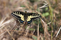Papilio zelicaon (Anise Swallowtail) at Charmlee Park, Malibu, Los Angeles Co, CA, USA, on 24-Apr-16