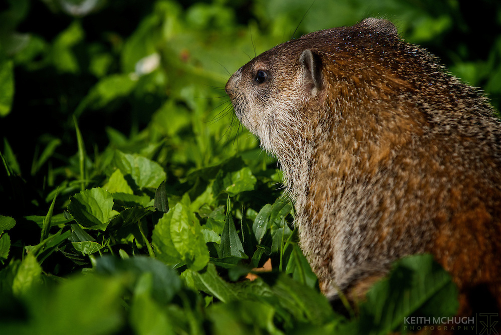 Groundhog foraging in the grass