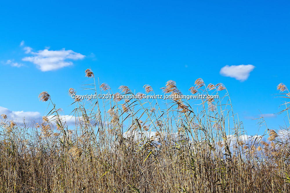 Tall grasses in the Florida Everglades. WATERMARKS WILL NOT APPEAR ON PRINTS OR LICENSED IMAGES.