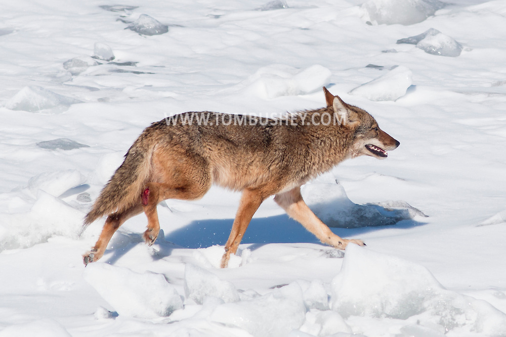 A coyote  walks on the ice of the frozen Hudson River near Hudson, New York.  The coyote appears to have an injury on its right rear leg. The photograph was taken from the Coast Guard cutter Sturgeon Bay, which was icebreaking the shipping channel.