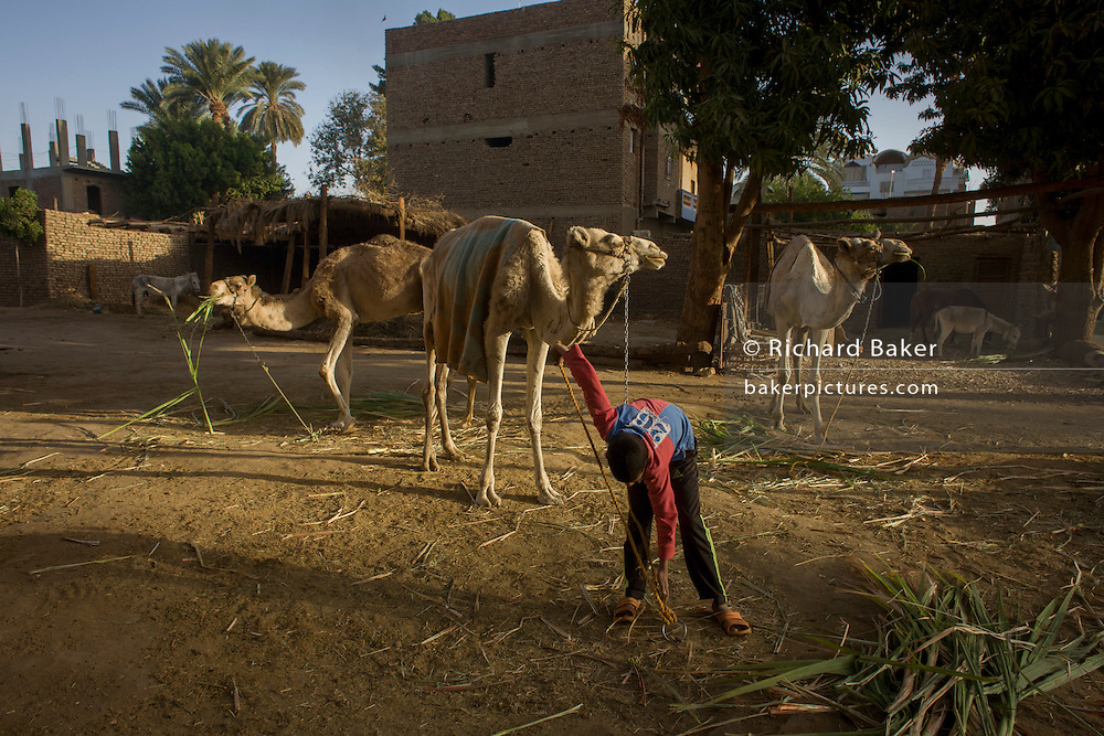Mustafa, a young Egyptian brings soft sugarcane branches for horses and camels at the Pharaohs Stable (pharaohsstables.com), a business dependent on tourism based in the village of Bairat on the West Bank of Luxor, Nile Valley, Egypt.