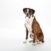 Thoughtful Boxer dog with jowls and snaggletooth smile seated on white background