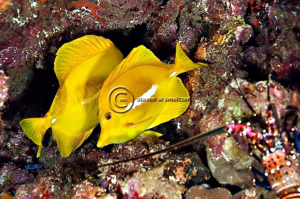 Yellow Tang, Zebrasoma flavescens, (Bennett, 1828), Lanai Hawaii, Knob Hill