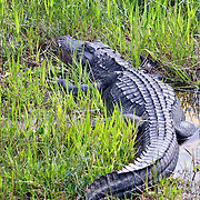 American Alligator in the Everglades, Florida