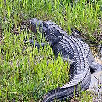 American Alligator in the Everglades, Florida