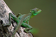 Juvenile Green Basilisk (Basiliscus plumifrons) in rainforest, Tortuguero National Park, Costa Rica. <br />