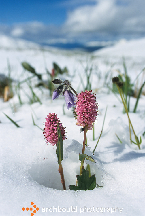 Flowers in snow, Yukon