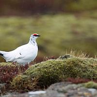 Rock Ptarmigan, Lagopus mutus,  Iceland