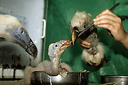 Scientists using fake bird heads to feed and breed Griffon Vulture (Gyps fulvus) young chicks