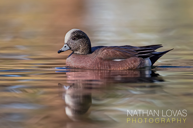 American wigeon reflection;  Arizona.