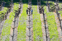 2014 March 20:  Young vines waking up in Spring in the Napa Valley wine region.  Stock Photos