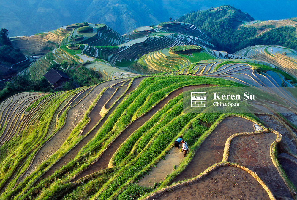 Farmers planting rice seedlings on the terraced rice paddies in the mountain, Longsheng, Guangxi Province, China
