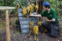 London, UK. 2 January, 2020. A zookeeper counts Bolivian black-capped squirrel monkeys during the annual stocktake at ZSL London Zoo. Every mammal, bird, reptile, fish and invertebrate is counted - a total of more than 500 different species - as part of an almost week-long audit required by the Zoo's licence, with the information recorded then shared with other zoos via the Species360 database.