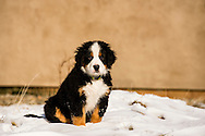 Bernese Mountain Dog, puppy, male, ten weeks old, PROPERTY RELEASED