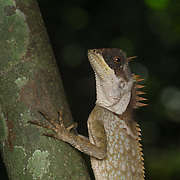 Cross-bearing tree lizard, Acanthosaura crucigera, Keang Krachan National Park, Thailand.