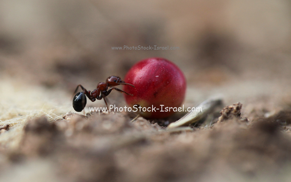 """Harvester ant (Messor hebraeus). Macrophotograph of a harvester ant carrying a seed. Harvester ants specialise in gathering different types of seeds. The ants travel in single file in two-lane """"highways"""" - one lane returning to the nest whilst the other consists of ants looking for more seeds. The seeds may be stored for several months in underground chambers before being eaten."""