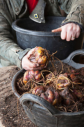 Planting lily bulbs in a large plastic pot. Lilium regale