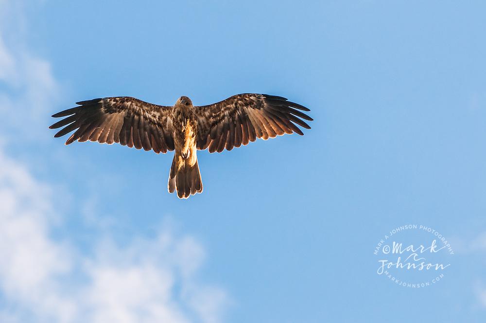 Whistling Kite Haliastur Sphenurus Moreton Island Queensland Australia Mark A Johnson Photographer