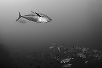 Two large Yellowfin Tuna send a school of Bigeye Trevally scattering<br /> <br /> <br /> Shot at Cocos Island, Costa Rica