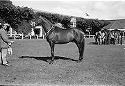 "08/08/1962<br /> 08/08/1962<br /> 08 August 1962<br /> Dublin Horse Show at the RDS, Ballsbridge, Wednesday. <br /> Picture shows ""Hypur"" a 3 year old gelding owned by Mrs E.M.R. O'Driscoll, Belvedere Stud, Donaghadee, Co. Down, winner of the Anthony Maude Cup, for the best 3 year old gelding of the Dublin Horse Show."